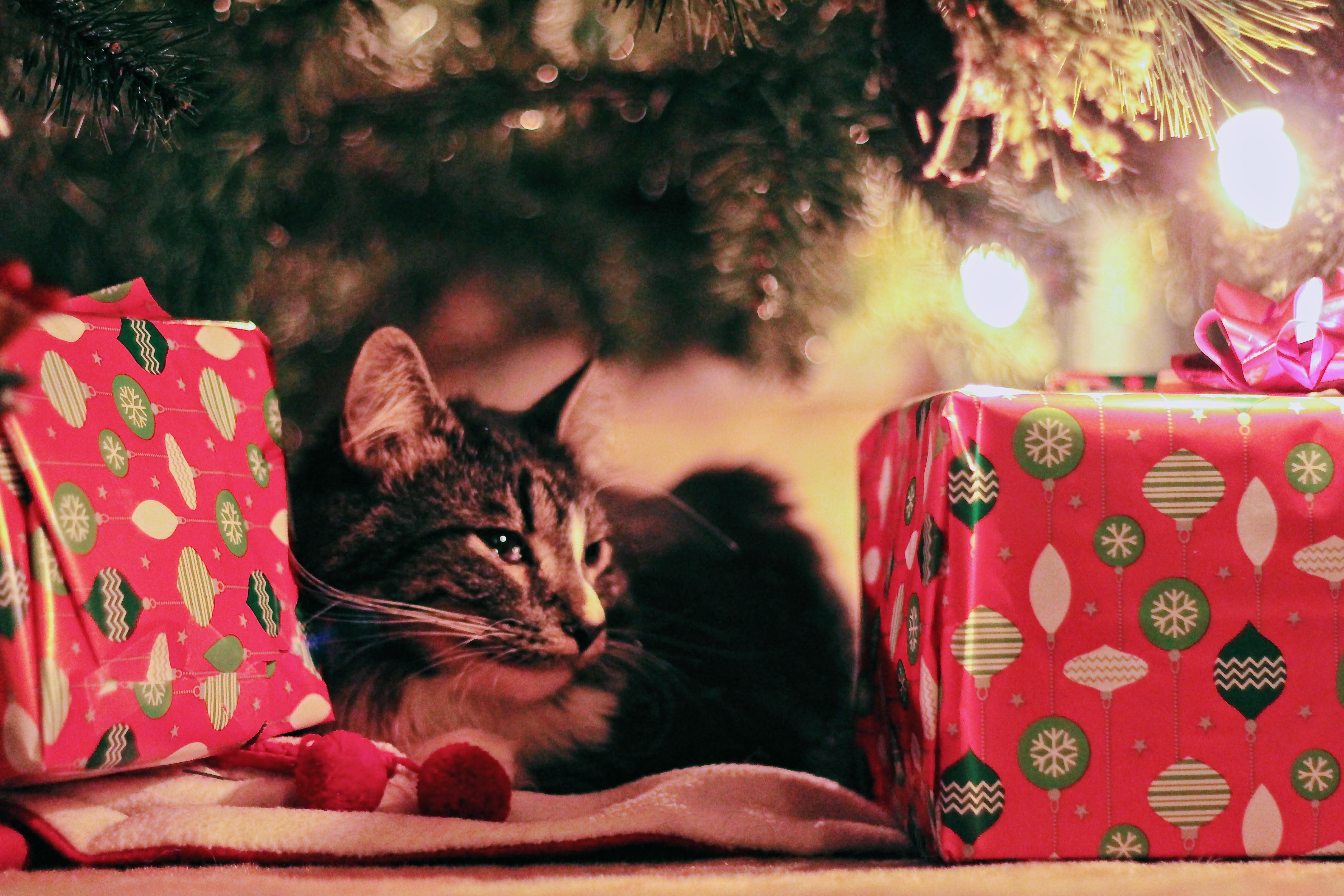 Relaxed tabby cat under the Christmas tree between two wrapped parcels. Help in the run up to Christmas