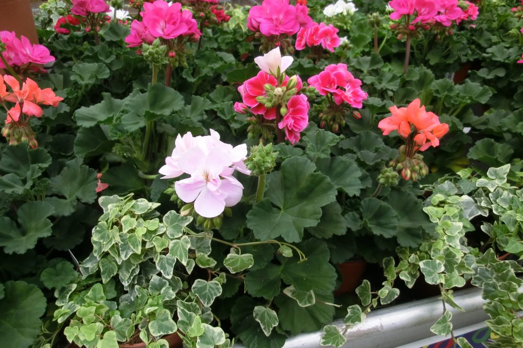 Different coloured zonal pelargoniums. Sort out your garage or shed